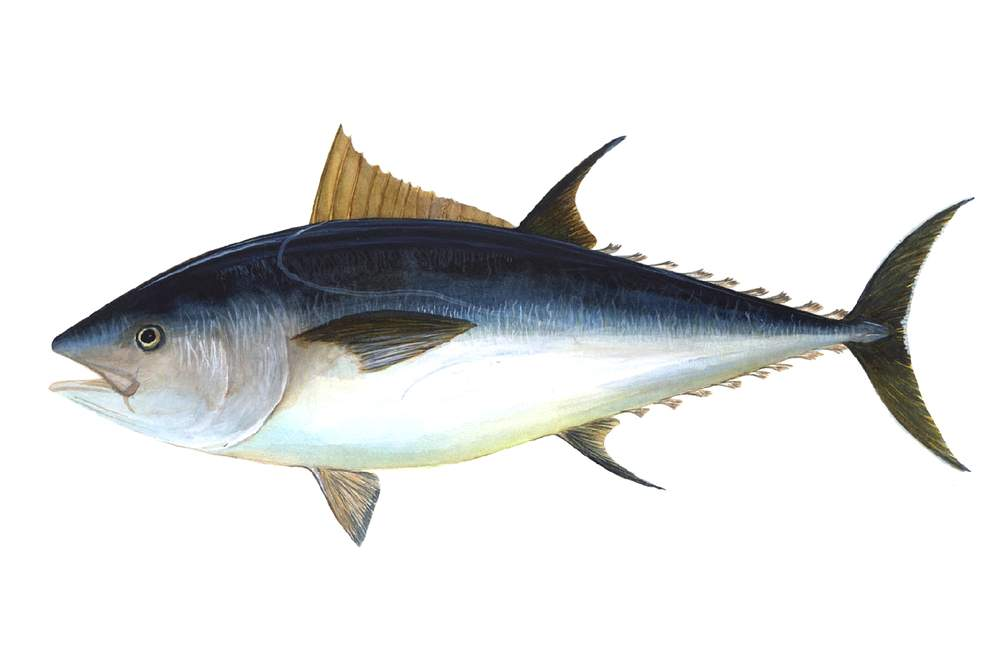The Atlantic bluefin tuna: thunnus thynnus