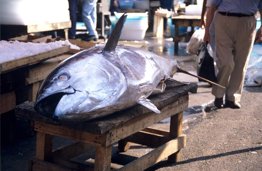 A Bluefin tuna on the quayside